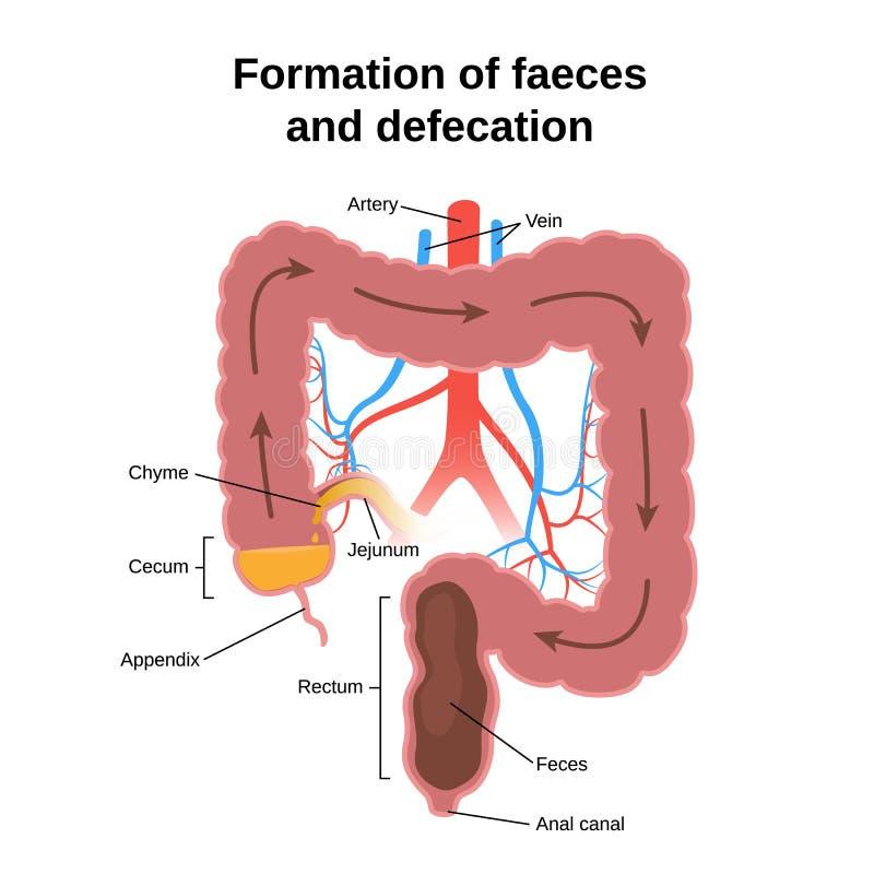 Proceso Digestivo En Seres Humanos Ilustración del Vector ...