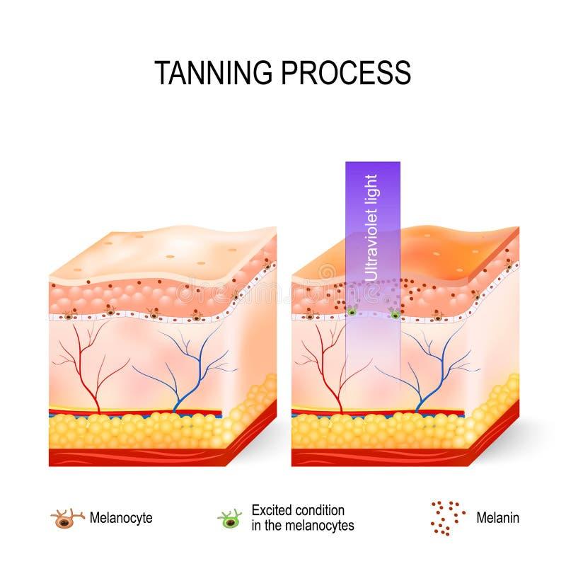 Proceso que broncea Melanina y melanocytes ilustración del vector