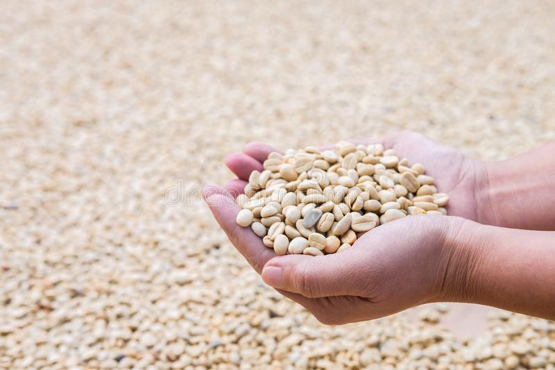 Process before being a coffee product to Coffee beans in hands under sun to dry on background.  stock photography