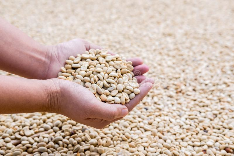 Process before being a coffee product to Coffee beans in hands under sun to dry on background.  royalty free stock photos