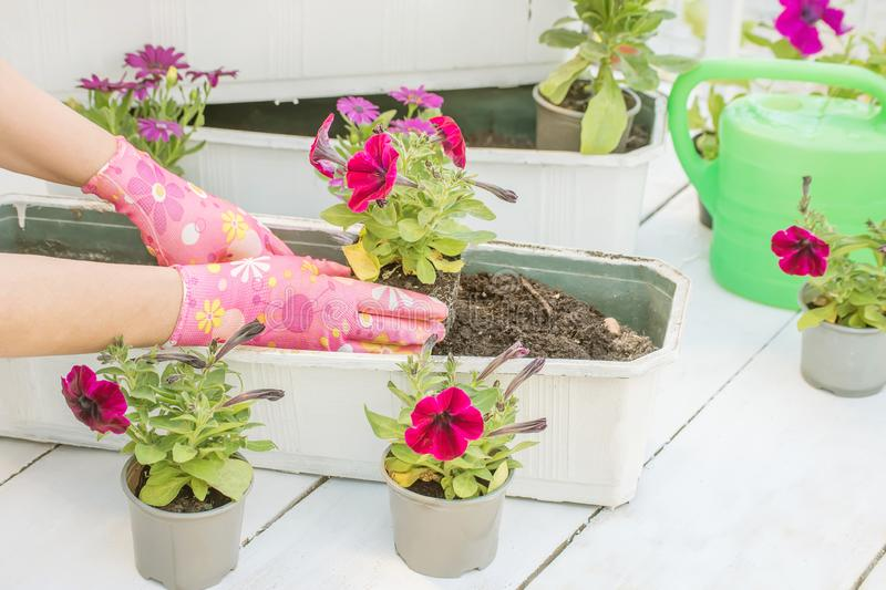 The process of garden spring work. Hands planting beautiful flowers seedlings into the ground. royalty free stock images