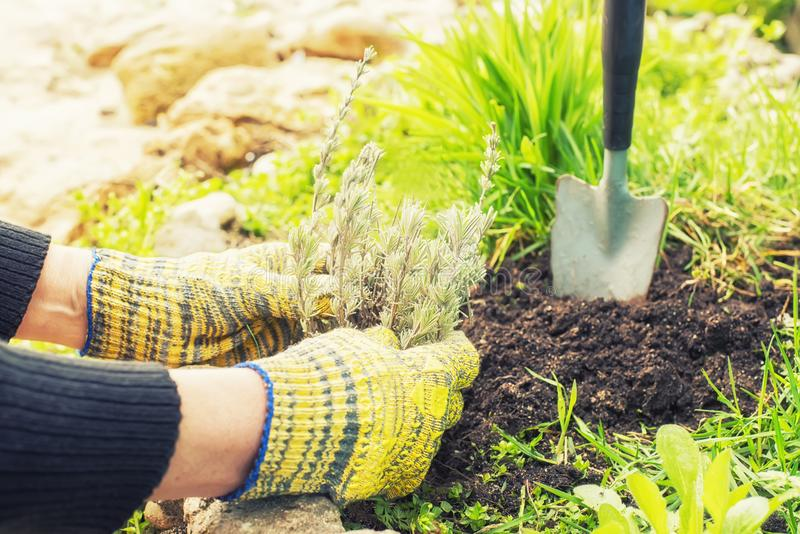 The process of garden spring work. Hands planting lavender seedlings into the ground. royalty free stock photo