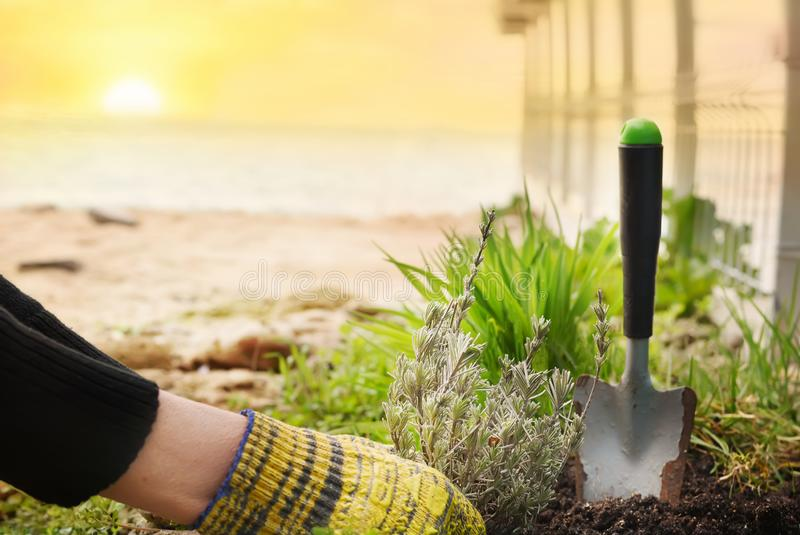 The process of garden spring work. Hands planting lavender seedlings into the ground. stock image