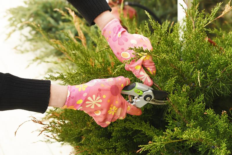 The process of garden spring work. Hands pruning conifers. royalty free stock photos