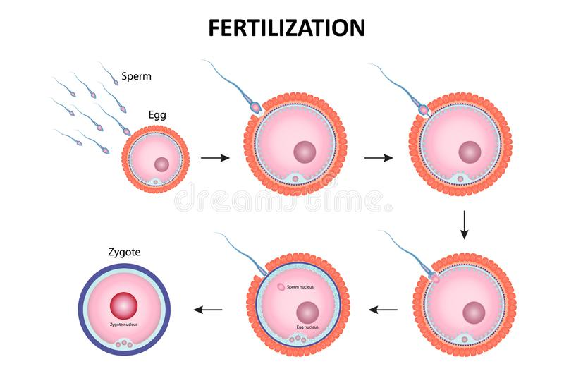 Human Sperm And Egg Fusion Diagram Stock Vector