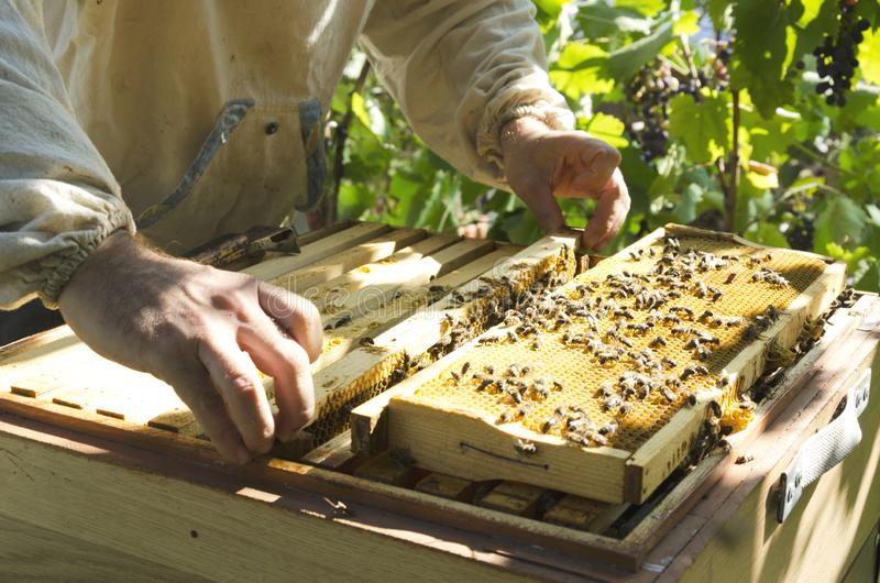 Process of inspecting brood nest befor autumn. Beekeeper standing near the beehive and taking out the brood frames stock photo