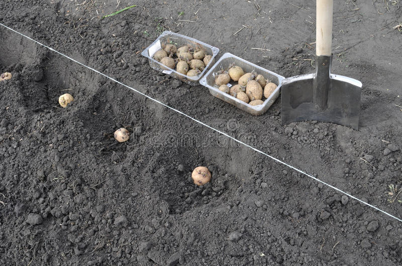 Process of planting potato in the field stock photo