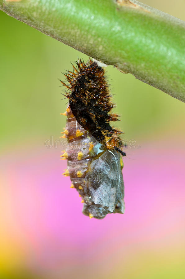 Free Process Pupation Stock Images - 22639354