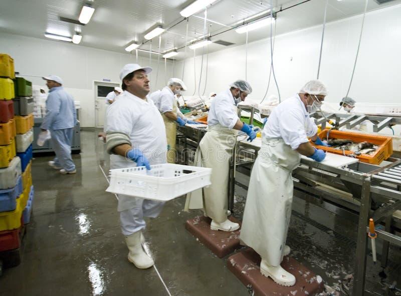 Processamento dos peixes imagem de stock