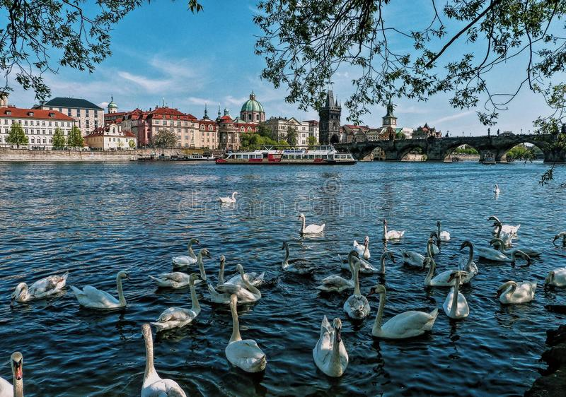 Panorama Prague with swans on the river, Czech Republic stock image