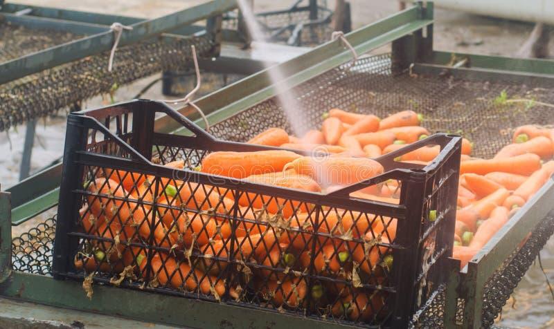 Processen av att göra ren moroten genom att använda tryck för högt vatten mor?tter som sk?rdas nytt Sommarsk?rdjordbruk lantbruk  royaltyfri foto