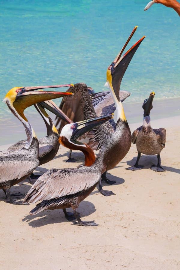 Processen av att mata pelikan med fisken på havskusten av stranden Varadero, Kuba arkivfoto