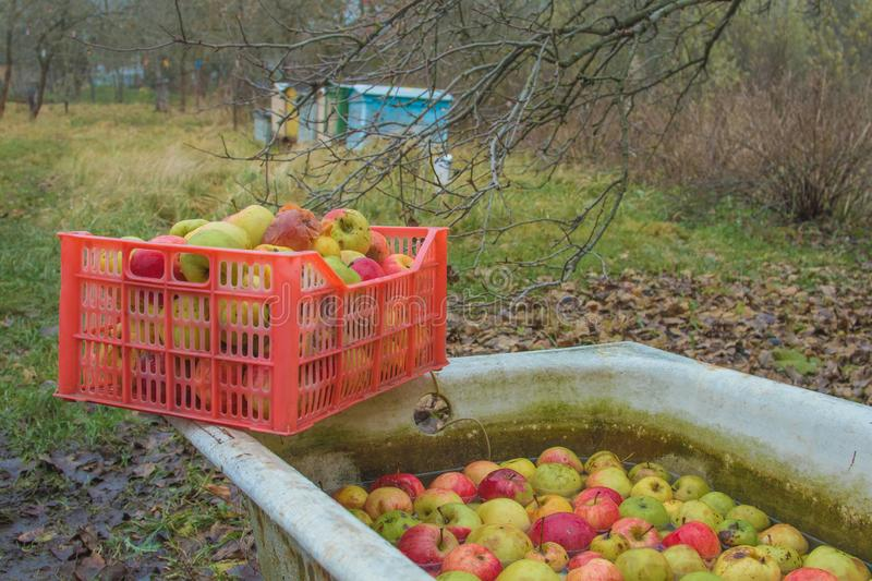 Processing of apples for juice production. Next to the machine for grinding apples are containers with crushed apples stock image