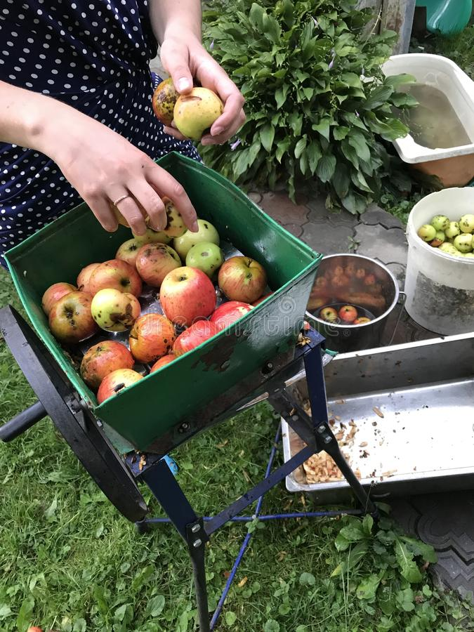 Processing of apples for juice production. A mechanical grinder for grinding apples, filled with juicy fruits. Manual drive stock photography