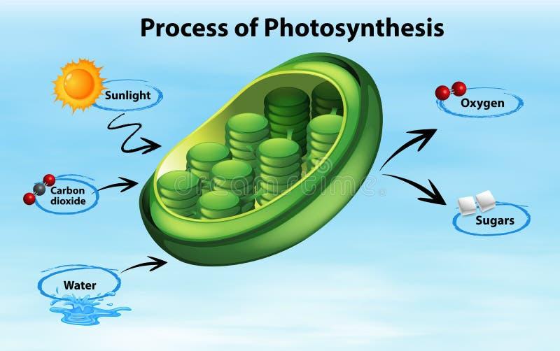 Processo da exibição do diagrama de fotossíntese ilustração stock