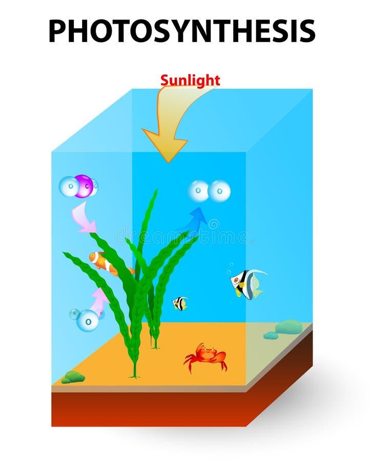 Processo de fotossíntese nas algas ilustração do vetor
