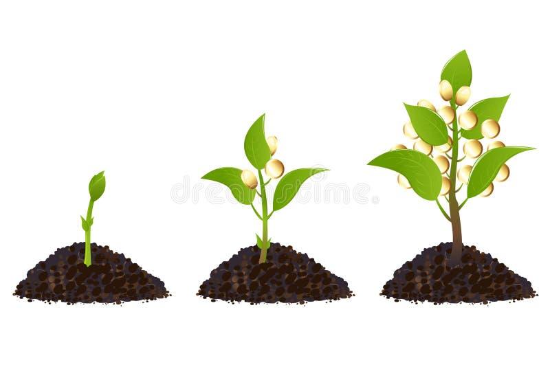 Processo di vita delle piante di soldi illustrazione di stock