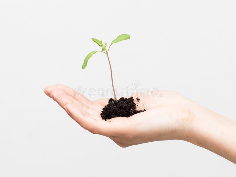 Processo novo de uma planta em um fundo branco fotos de stock royalty free