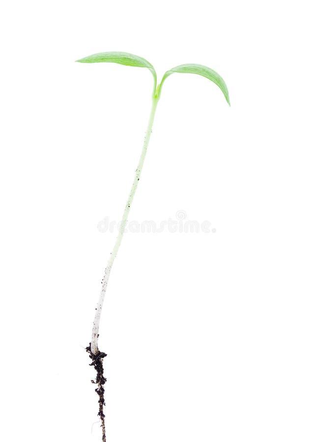 Processo novo de uma planta em um fundo branco fotografia de stock royalty free