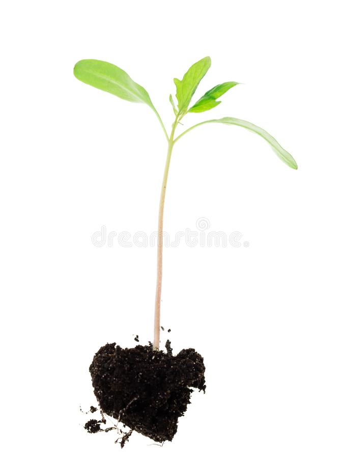 Processo novo de uma planta em um fundo branco imagens de stock