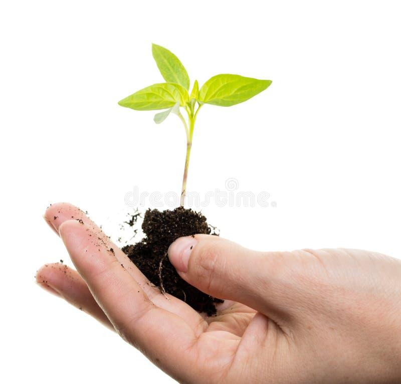 Processo novo de uma planta em um fundo branco imagem de stock royalty free