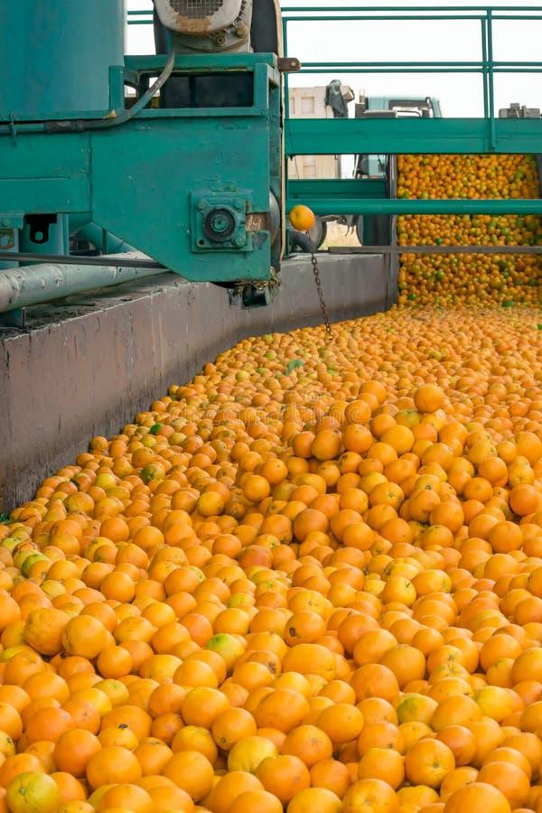 Processo tecnologico al conservificio arancio Massachussets delle arance mature degli agrumi immagine stock libera da diritti