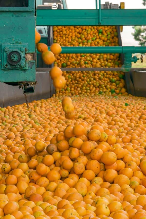 Processo tecnologico al conservificio o alla fabbrica arancio Massachussets delle arance mature degli agrumi fotografia stock libera da diritti