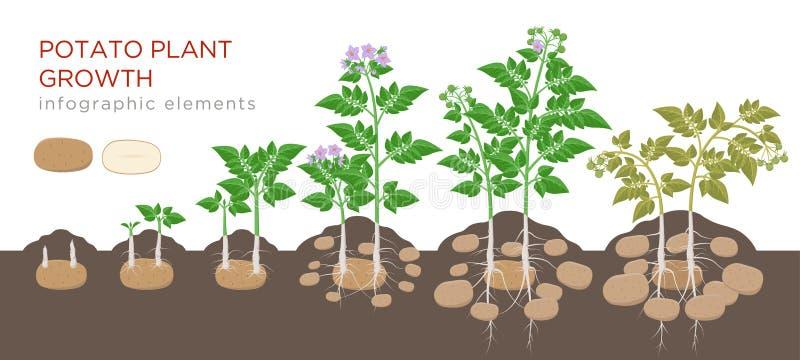 Processus croissant de plante de pommes de terre de graine aux légumes mûrs sur des usines d'isolement sur le fond blanc Étapes d illustration stock