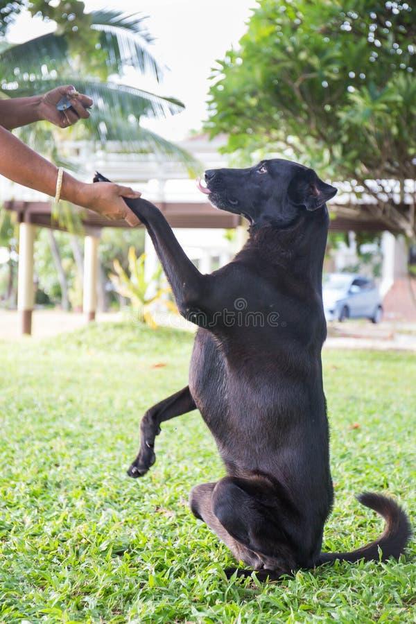 Processus extérieur de formation de Labrador de chien noir photographie stock