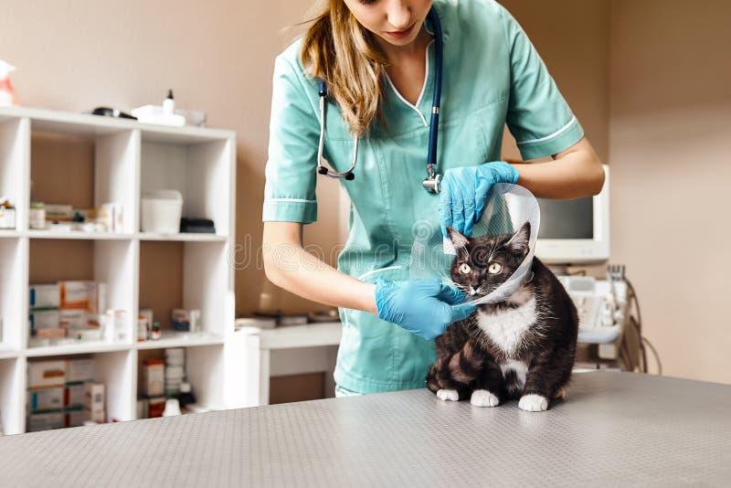 Processus fonctionnant Vétérinaire féminin dans l'uniforme de travail mettant sur un collier en plastique protecteur à un grand m photographie stock libre de droits