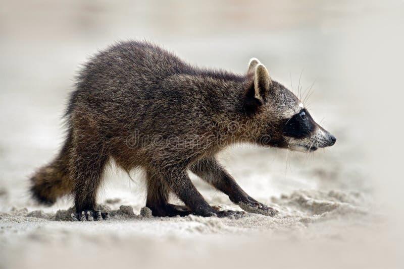 Procione, lotor del Procyon, camminante sulla spiaggia di sabbia bianca in parco nazionale Manuel Antonio, animale grigio nell'ha fotografia stock