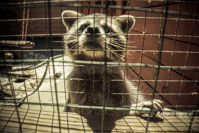 Procione nella cattivit? fotografia stock libera da diritti