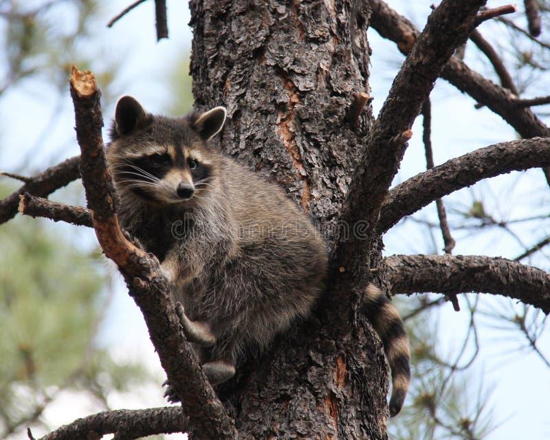 Procione su un albero fotografia stock libera da diritti