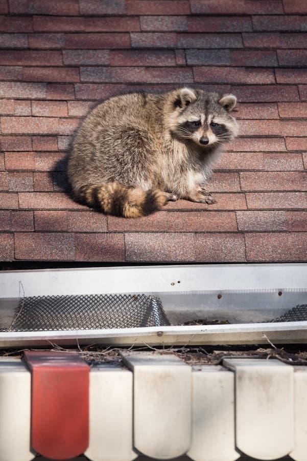 Procione urbano sul tetto a Toronto, Canada immagine stock libera da diritti