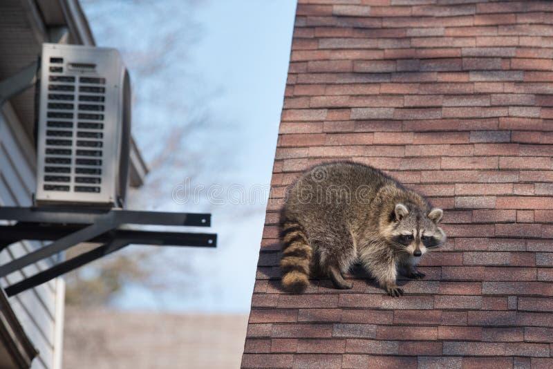 Procione urbano sul tetto a Toronto, Canada fotografia stock