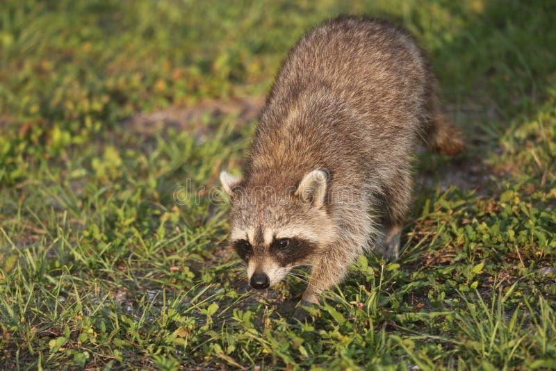 Procioni selvaggi in Florida del sud fotografie stock