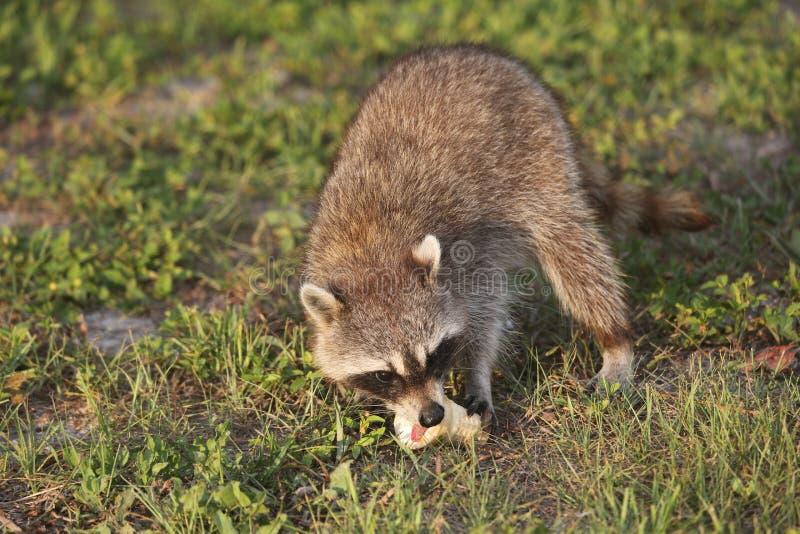 Procioni selvaggi in Florida del sud fotografia stock libera da diritti