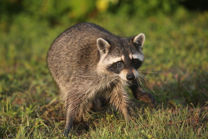 Procioni selvaggi in Florida del sud immagini stock