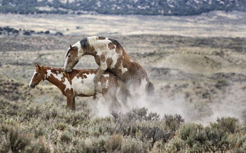 Procriação do cavalo selvagem de bacia de lavagem da areia imagem de stock royalty free