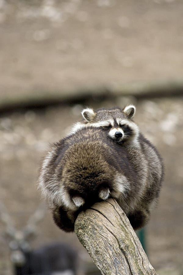 Procyon lotor or raccoons hugging royalty free stock photos