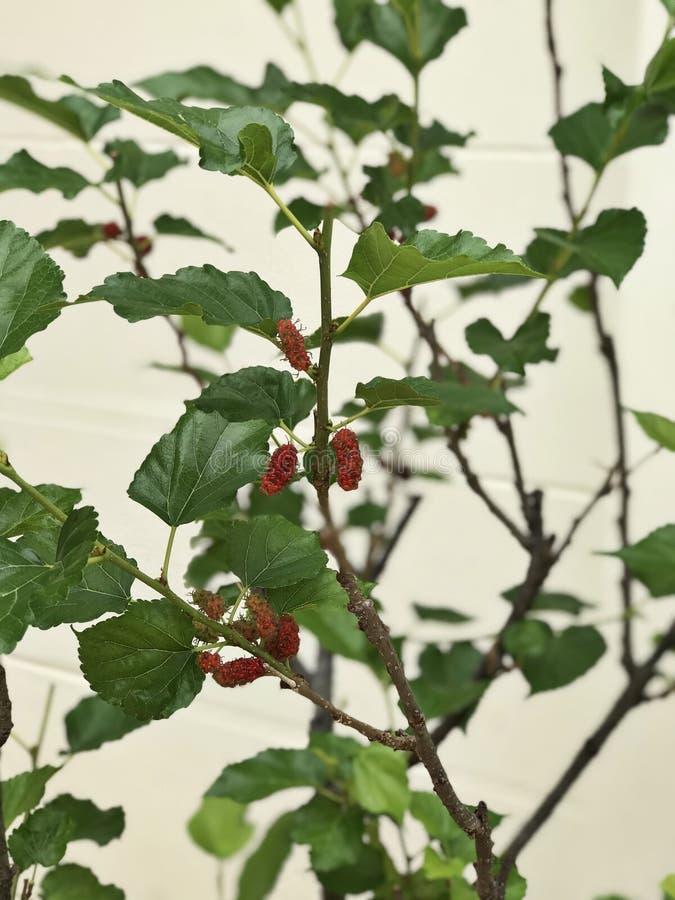 Prodotti dell'albero del Morus o del gelso i frutti immagini stock