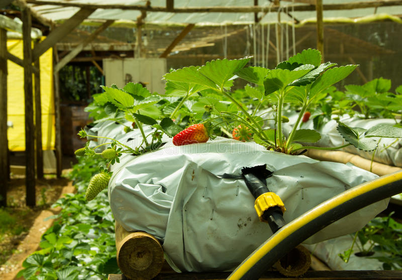 Produção da morango na exploração agrícola hidropônica fotografia de stock royalty free