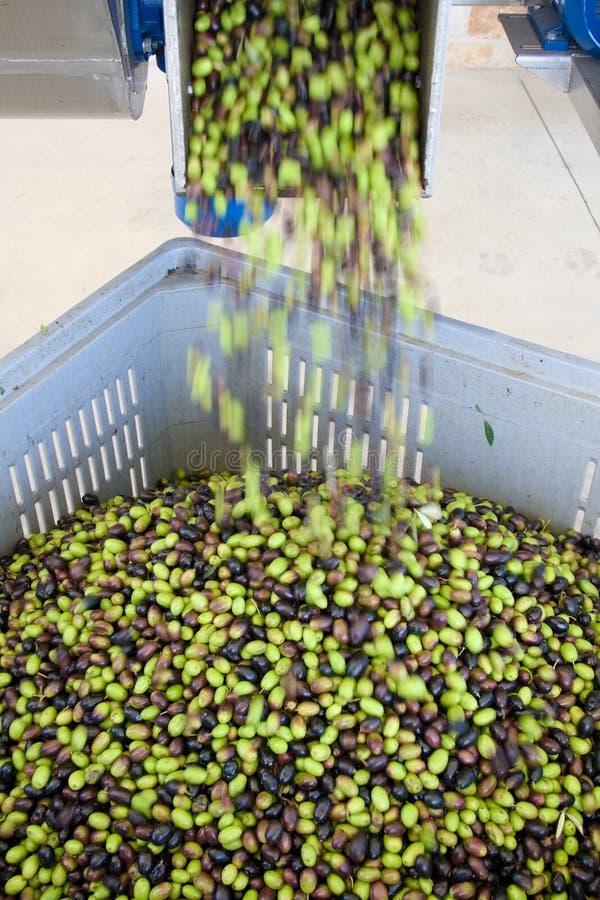 Produção de azeite virgem extra fotos de stock