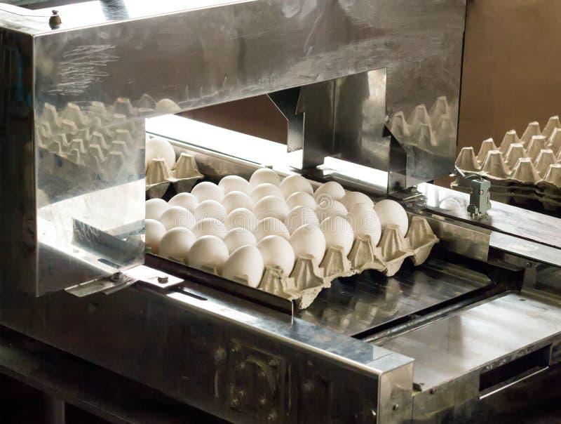 A produção para classificar a galinha eggs, o processo de seleção de ovos da galinha, close-up, triagem imagens de stock royalty free