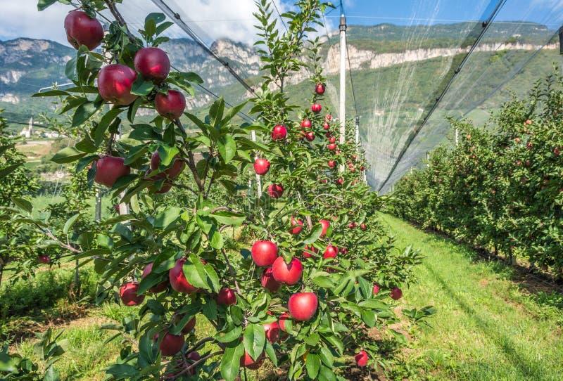 Producción intensiva o huerta de la fruta con las redes de la protección de cultivos en el Tyrol del sur, Italia Manzanar de la n fotos de archivo