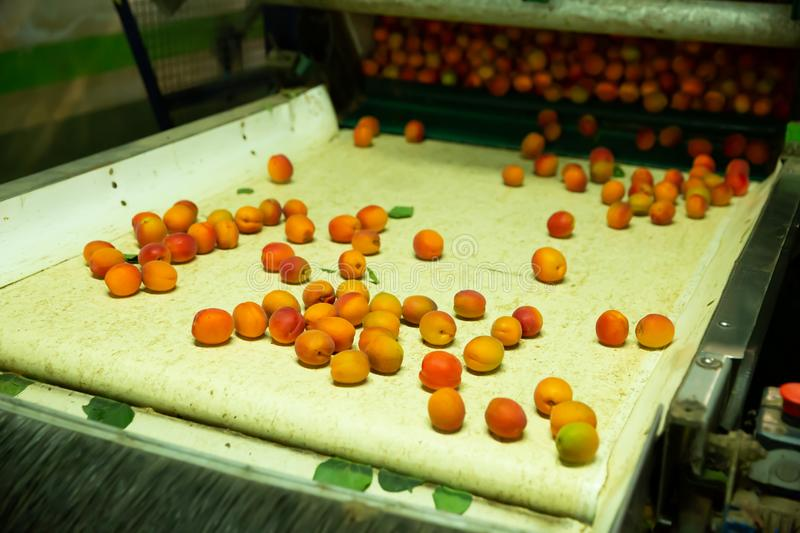 Production facilities of grading and packing of apricots. Production facilities of grading and packing of harvest of apricots on agricultural farm stock photo