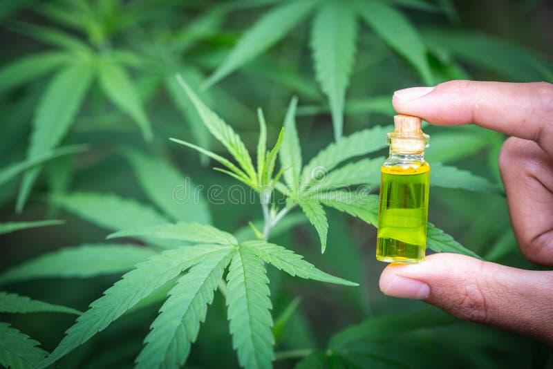 Productos derivados del petróleo de cáñamo de CBD, el sostenerse de la mano del aceite del cáñamo contra planta de marijuana foto de archivo