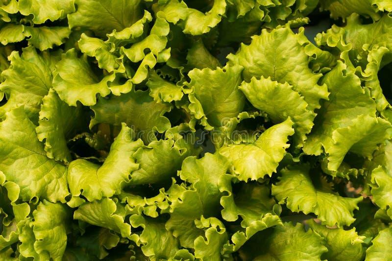 Produkcja kapusta i sałata na przemysłowej skali Tło i tapeta veggie jedzenie zdjęcia royalty free