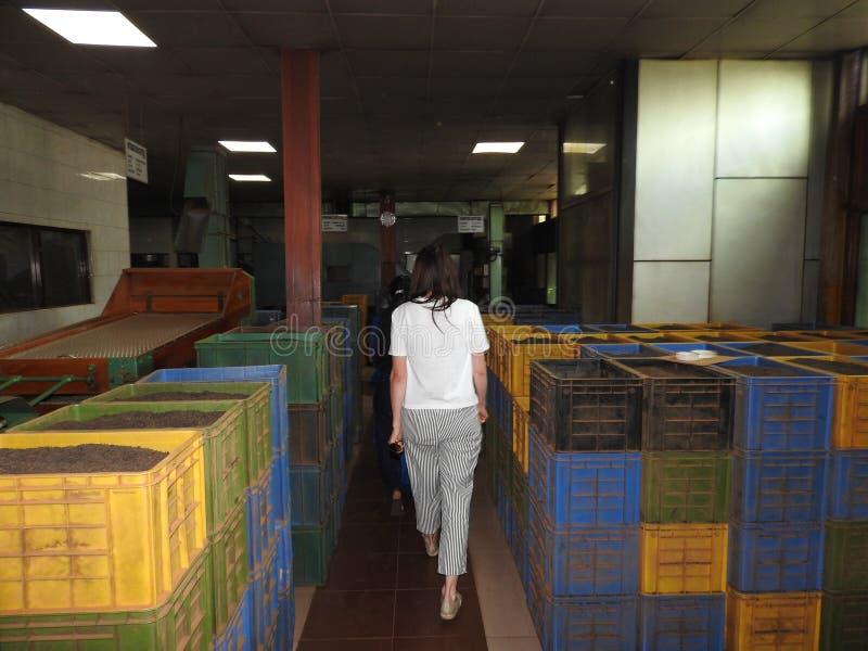 Produktion av att bearbeta teblad Sri Lanka arkivfoto