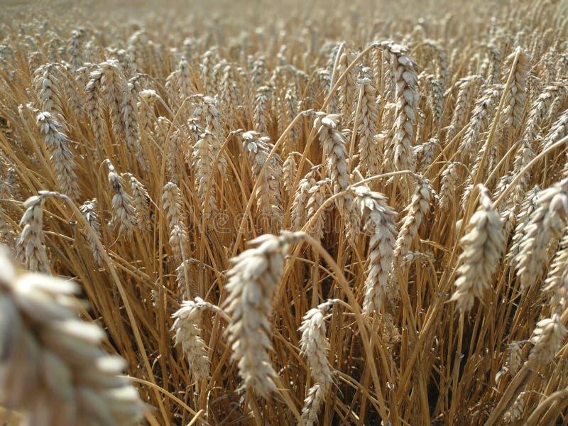 Produto natural de campo de trigo Orelhas da colheita da natureza do crescimento do fim dourado do trigo acima Cena rural sob a l imagens de stock royalty free